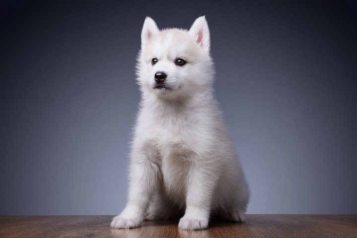 5 Exercise Tips for Siberian Husky Puppies